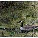 Canadian Goose - Abstract