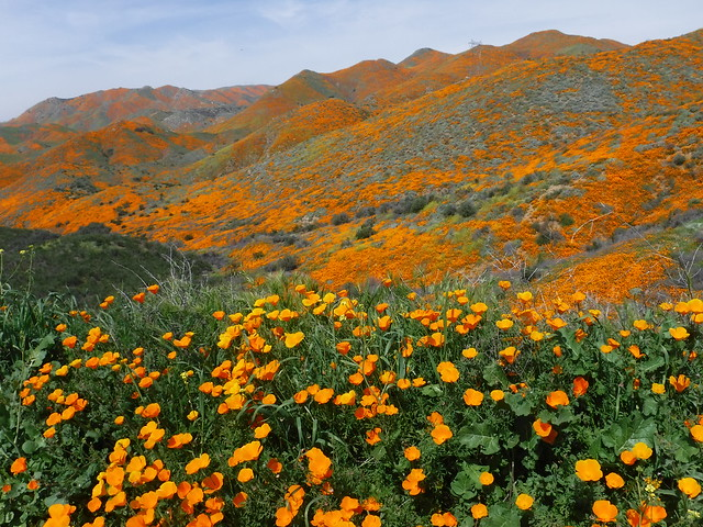 California poppies - Walker Canyon