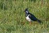 Lapwing, Vanellus vanellus