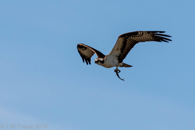 Osprey and Guest