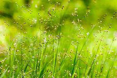 HolderWood Melick Grass