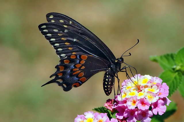 Black Swallowtail - female
