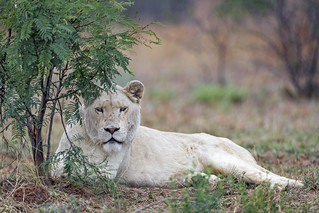 A lioness under the tree II