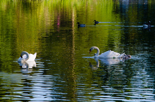 Swan family, West Park, second view