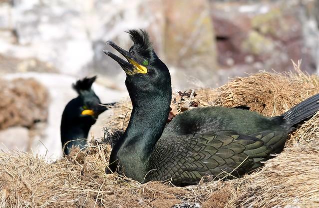 Nesting Shags on Staple Island