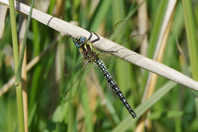 K32P4459c Hairy Dragonfly (m), Woodwalton Fen, May 2019