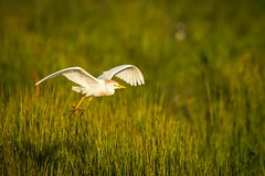 Cattle Egret.