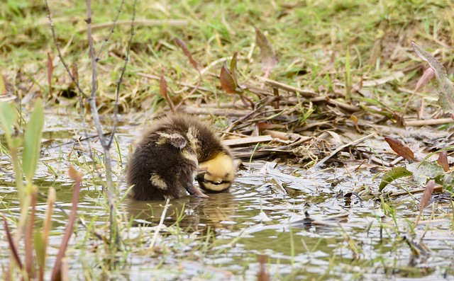 Muddy puddle Duckling.