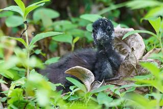 White-breasted Waterhen (Amaurornis phoenicurus) 白胸苦惡鳥