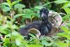 White-breasted Waterhen (Amaurornis phoenicurus) 白胸苦惡鳥 by Nelson Wong Wildlife