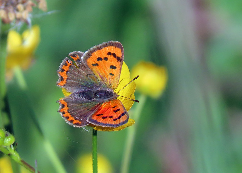 Small Copper - Lycaena phlaeas
