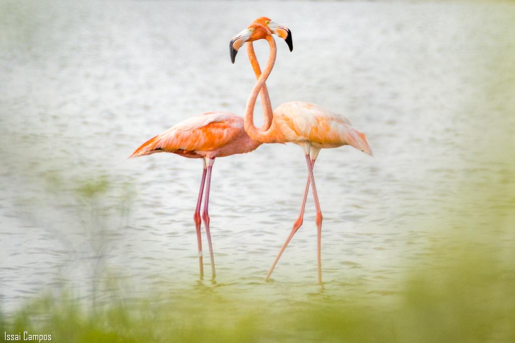 Flamenco - American flamingo - (Phoenicopterus ruber)