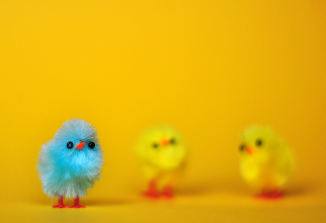 Little Easter chicks on yellow backdrop