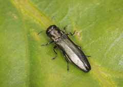 Jewel Beetle - Agrilus