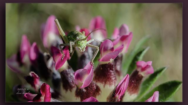 2019.05.10 Macro insectes et fleurs.006