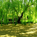 Willow on the canal at Preston