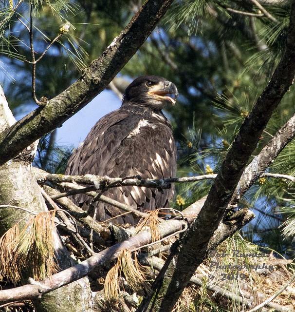 Bald Eagle Juvenile in Nest.