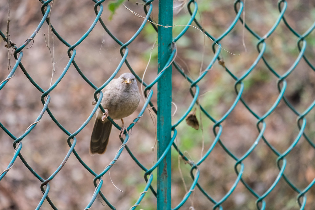Bird Sits on Chain Link Fence