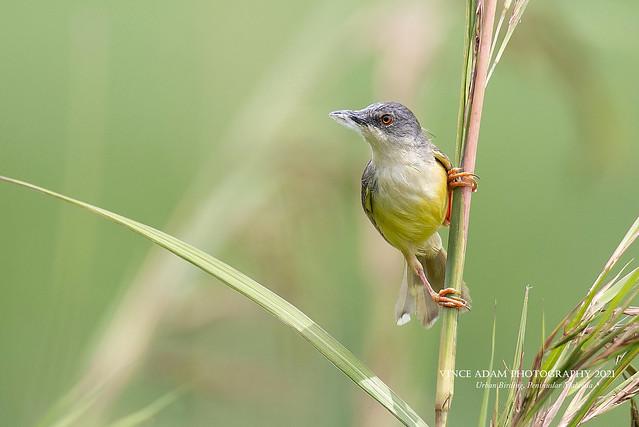 IMG_8193-1CC(W) Yellow-bellied Prinia (Prinia flaviventris) collecting nesting materials (cobwebs) using her beak