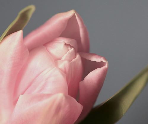 The Palest Pink Tulip   by j.towbin ©