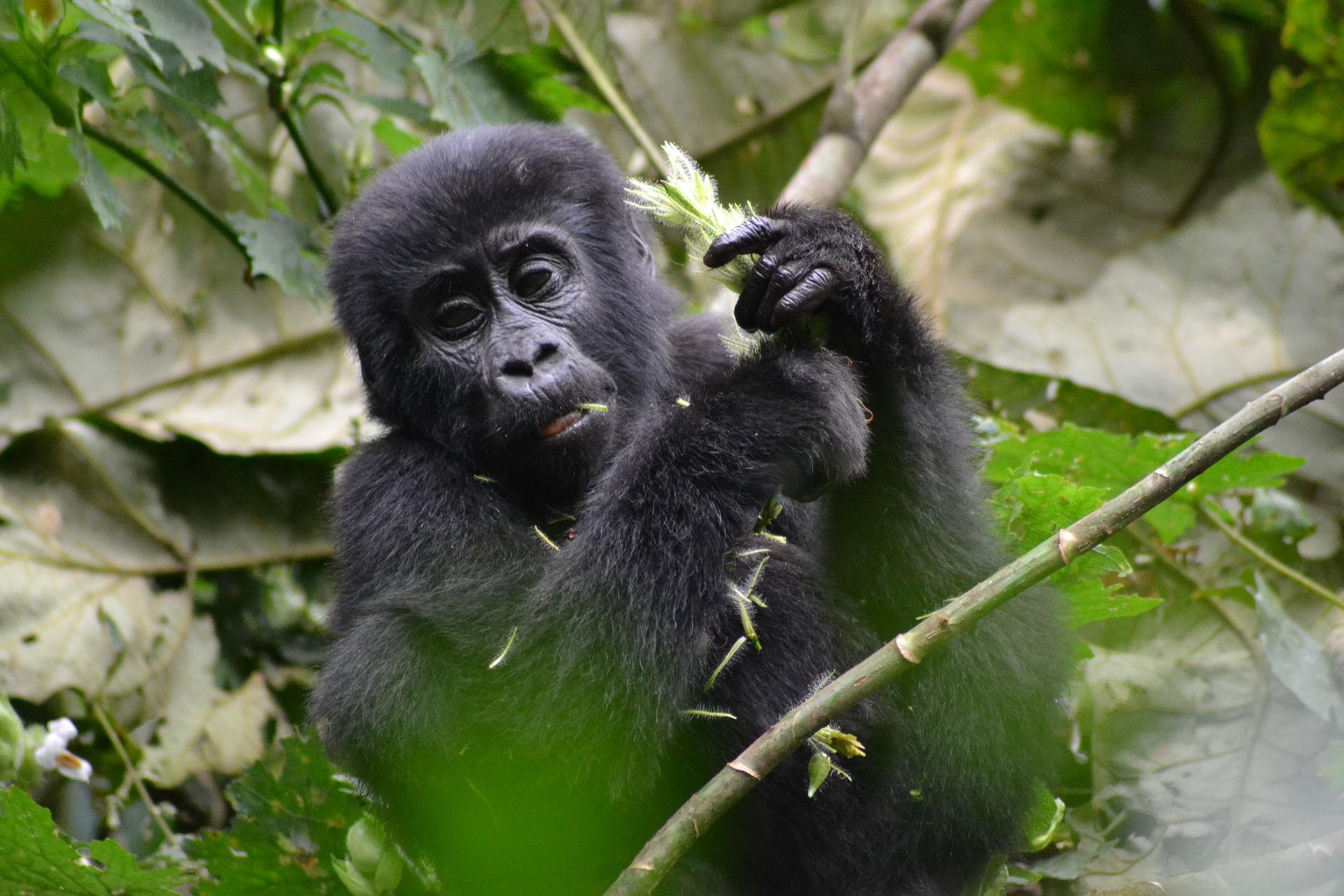 gorilla-3928904_1920