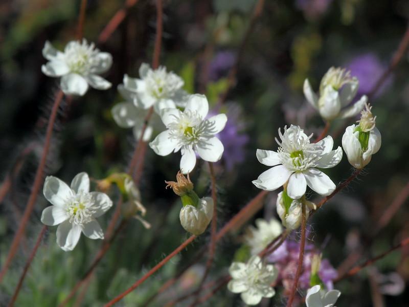 IMG_0648 Cream Cups (Platystemon californicus)