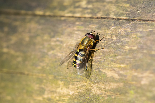 Migrant Hoverfly | by nickstone333