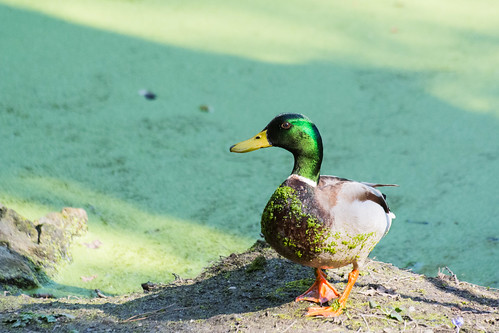 Mallard with a Green Belly | by nickstone333