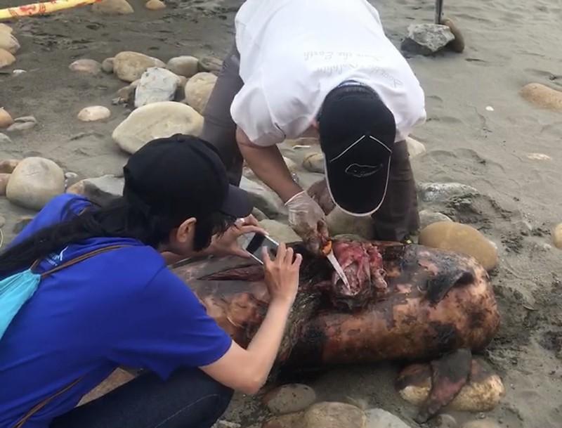 大潭進水口岸際發現擱淺死亡的瓶鼻海豚