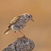 Berthelot's Pipit. by pecky2013