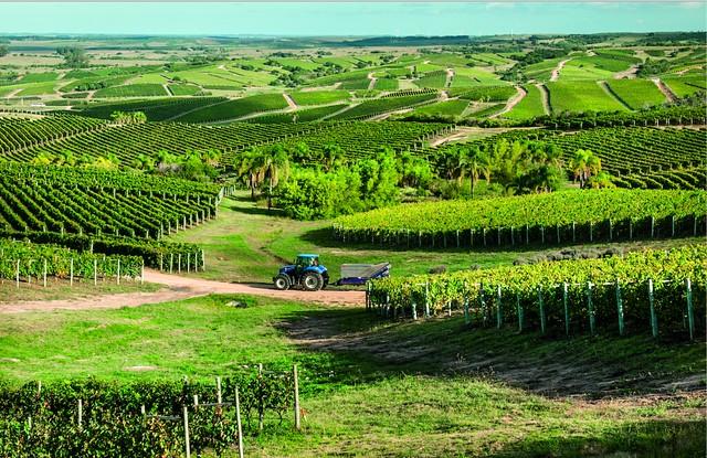 Uruguay viñedos