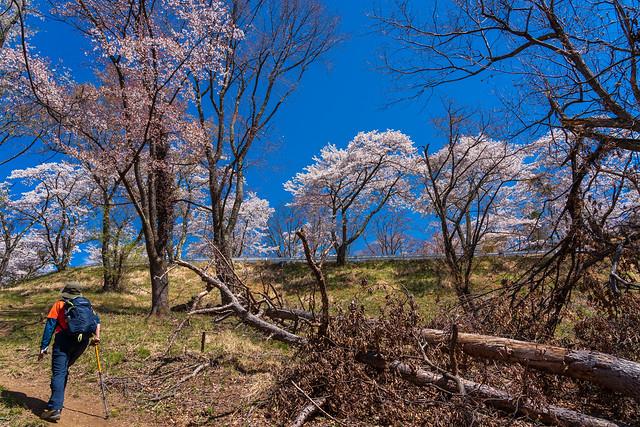 桜咲く蓑山山頂へ