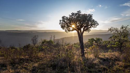 cussoniaspicata cabbagetree highveld sunrise highveldsunrise kpnr kuduprivatenaturereserve kuduranch kudugameranch lydenburg mpumalanga southafrica