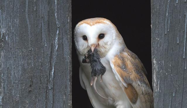 Barn Owl (Tyto alba) 0560