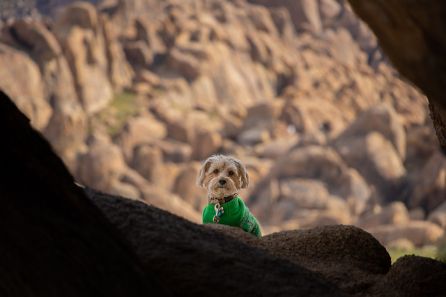 Cute Guard Dog in a Green Sweater