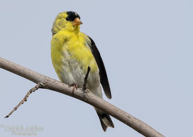 American Goldfinch male classic pose