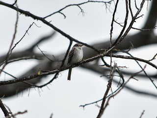 Gray Flycatcher at Ardenwood | by James Watts, Jr