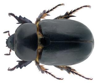 Ancognatha castanea Erichson, 1847  Male
