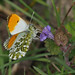 ORANGETIP MALE 1704191 by gazza294