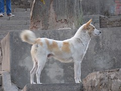 Dog at Swayambhunath Temple in Kathmandu, Nepal