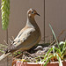 Mourning Dove and her babies by Ho's Photog