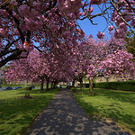 Cherry blossom scene in Preston