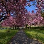 Cherry blossom scene in Preston
