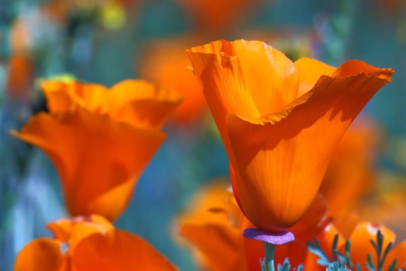 IMG_6124 California Poppy, Antelope Valley California Poppy Reserve