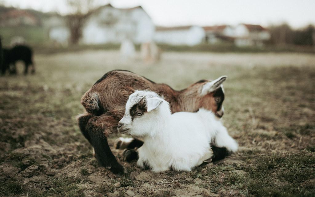 Baby goats on a farm