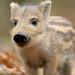Wild Boar by Nigel Hodson