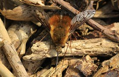 Dotted bee-fly - Bombylius discolor - Nr White Mill NT Dorset -150419 (1)