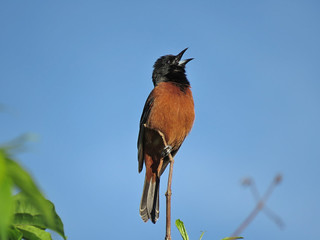 Orchard Oriole | by mggoodwin56