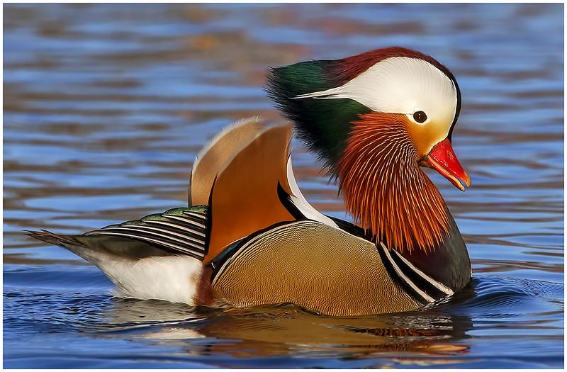 2018 Image of the Year-Handsome Mandarin Duck by Ramu Bijanki