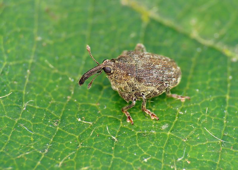 Parethelcus pollinarius